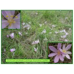 Colchique d'automne - Colchicum automnale - 580