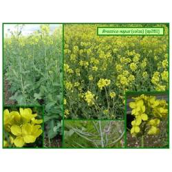Colza - Brassica napus - 281