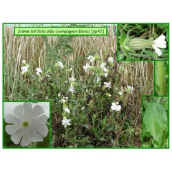 Compagnon blanc - Silene latifolia - 042