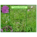 Compagnon rouge - Silene dioica - 331