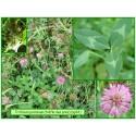 Trèfle des prés - Trifolium pratense - 032