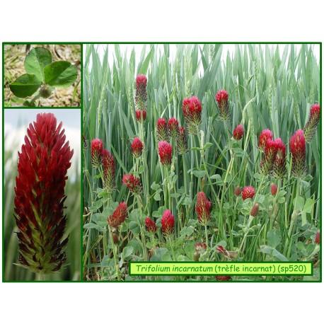 Trèfle incarnat - Trifolium incarnatum - 520