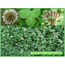 Trèfle rampant - Trifolium repens - 091