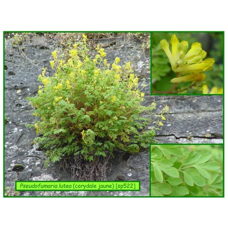 Corydale jaune - Pseudofumaria lutea - 522