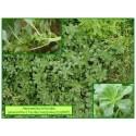 Amaranthe à feuilles marginées - Amaranthus blitoides - 565