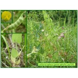 Gesse sans feuilles - Lathyrus aphaca - 709