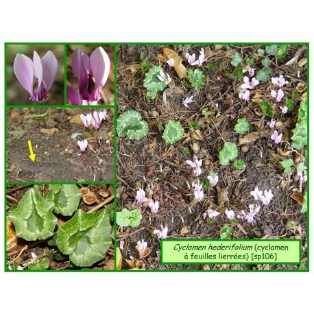 Cyclamen à feuilles de lierre - Cyclamen hederifolium - 106