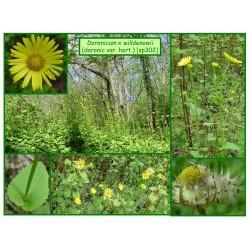 Doronic de Willdenow - Doronicum x willdenowii - 302