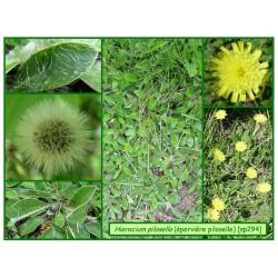 Epervière piloselle - Hieracium pilosella - 294
