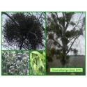 Gui blanc - Viscum album - 244