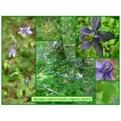 Ancolie vulgaire - Aquilegia vulgaris - 313