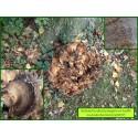 Poule des bois - Grifola frondosa - 5017