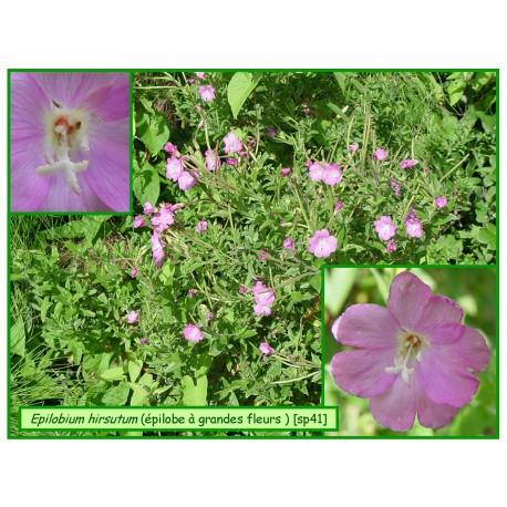 Epilobe hirsute, à grandes fleurs - Epilobium hirsutum - 041
