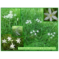 Étoile de Béthléem - Ornithogallum umbllatum - 334