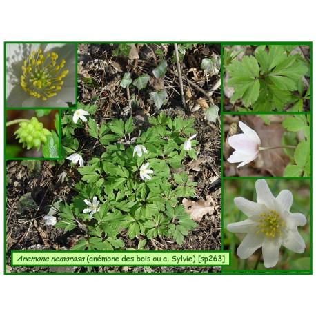 Anémone des bois ou An. sylvie - Anemone nemorosa - 263