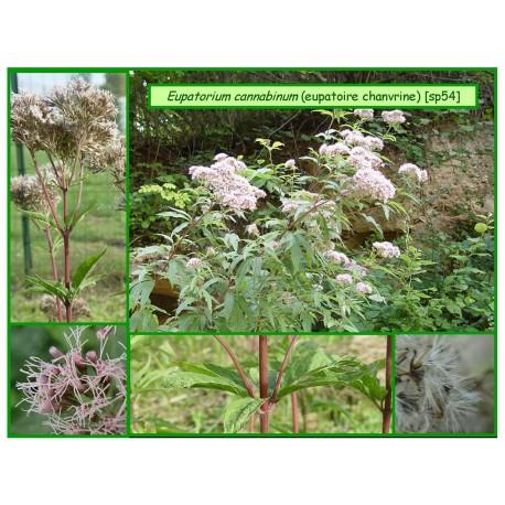 Eupatoire chanvrine - Eupatorium cannabinum - 054