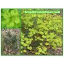 Euphorbe des bois - Euphorbia amygdaloides - 120