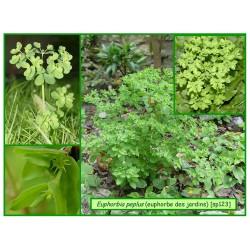 Euphorbe des jardins - Euphorbia peplus - 123
