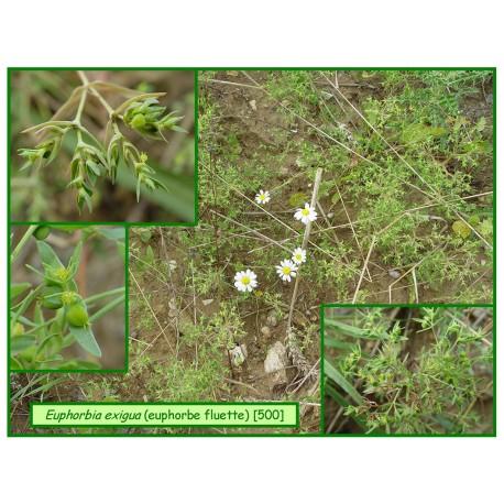 Euphorbe fluette - Euphorbia exigua - 500