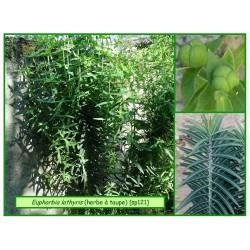 Euphorbe herbe à taupes - Euphorbia lathyris - 121