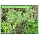 Euphorbe réveille-matin - Euphorbia helioscopia - 049