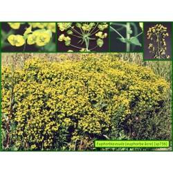 Euphorbe âcre - Euphorbia esula - 736