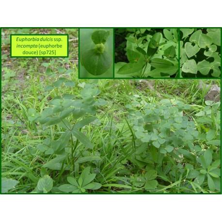 Euphorbe douce - Euphorbia dulcis - 725