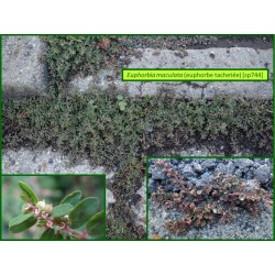 Euphorbe tachetée - Euphorbia maculata - 744