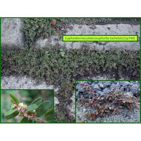 Euphorbe tachetée - Euphorbia maculata - 743