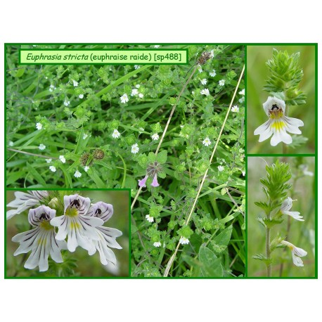 Euphraise raide - Euphrasia stricta - 488