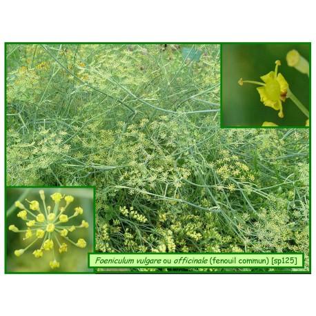 Fenouil commun - Foeniculum vulgare - 125