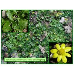 Ficaire - Ranunculus ficaria - 259