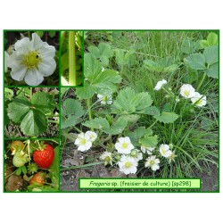 Fraisier de culture - Fragaria sp. - 298