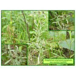 Gnaphale des marais - Gnaphalium uliginosum - 568