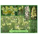 Linaire commune - Linaria vulgaris - 012