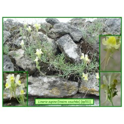Linaire couchée - Linaria supina - 511