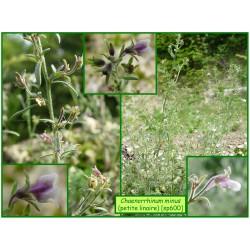 Petite linaire - Chaenorrhinum minus - 600