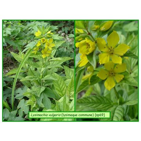 Grande lysimaque - Lysimachia vulgaris - 69-549
