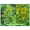 Lysimaque commune - Lysimachia vulgaris - 069-549