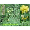 Baguenaudier - Colutea arborescens - 524