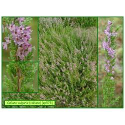 Callune - Calluna vulgaris - 575