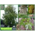 Platane commun - Platanus x acerifolia - 609