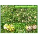 Anthyllide vulnéraire - Anthyllis vulneraria - 527