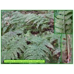 Dryoptéris dilaté - Dryopteris dilatata - 595