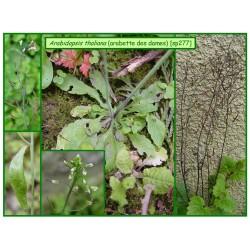 Arabette des dames - Arabidopsis thaliana - 277