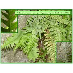 Polypod, réglisse des bois - Polypodium vulgare - 180