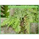 Polypode, réglisse des bois - Polypodium vulgare - 180