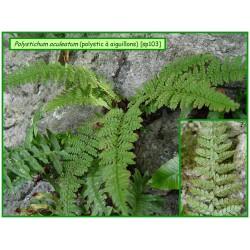 Polystic à aiguillons - Polystichum aculeatum - 103