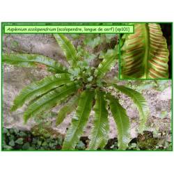 Scolopendre, langue de cerf - Asplenium scolopendrium - 101