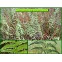 Fougère des marais - Thelypteris palustris - 739